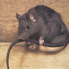 Control of Rats & Rodents